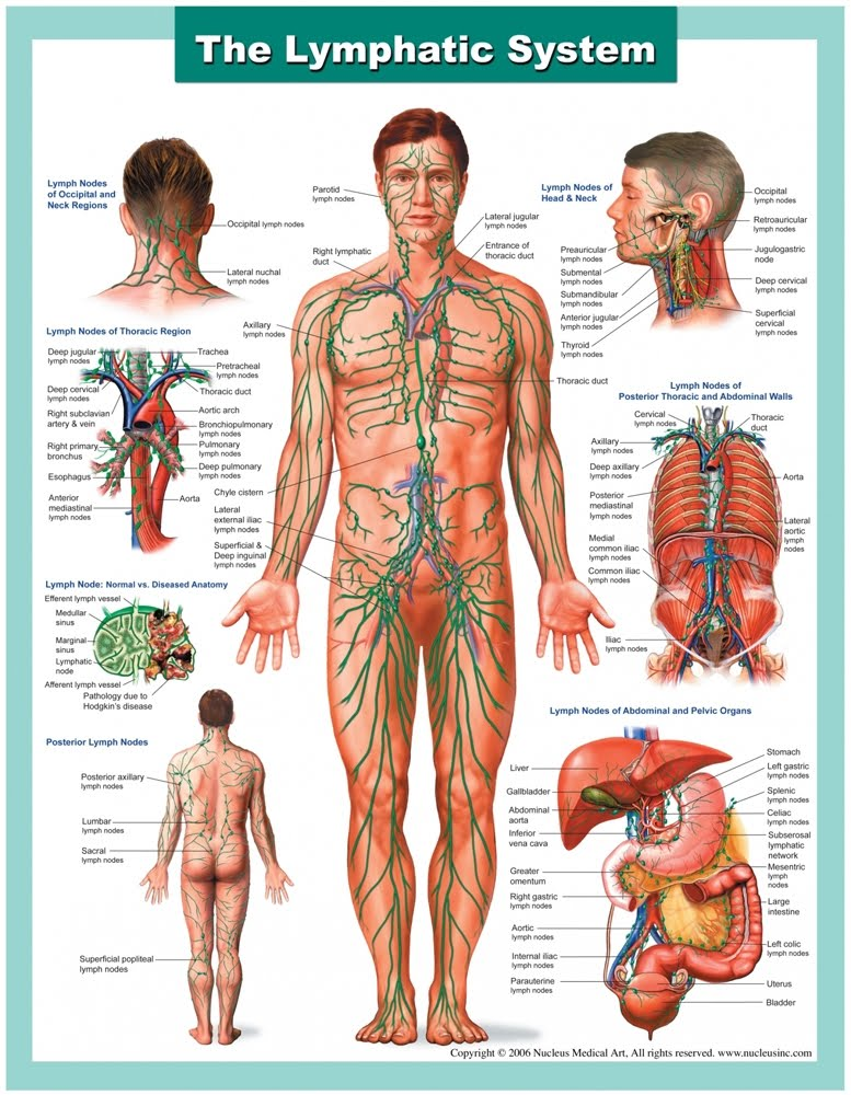 Importance Of The Lymphatic System